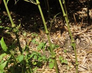 Bambou canne Charly Chaplin :le Chimonobambusa tumidissinoda
